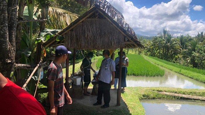 Program Mina Padi Tumpang Sari Belum Maksimal, Petani di Tabanan Lebih Nyaman Metode Penyelang
