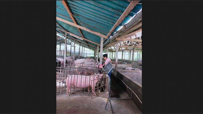 Harga Daging Babi di Bali Jelang Galungan Melonjak Tajam, Peternak: Itu Permainan Tengkulak