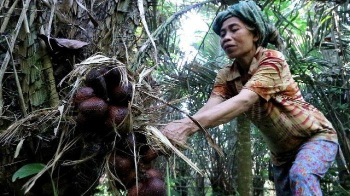 Petani Buah dan Cengkeh di Desa Bukit Karangasem Mengeluh, Hasil Panen Turun