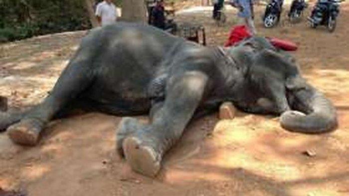 Sambo, gajah pengangkut turis di Angkor Wat, mati karena kelelahan