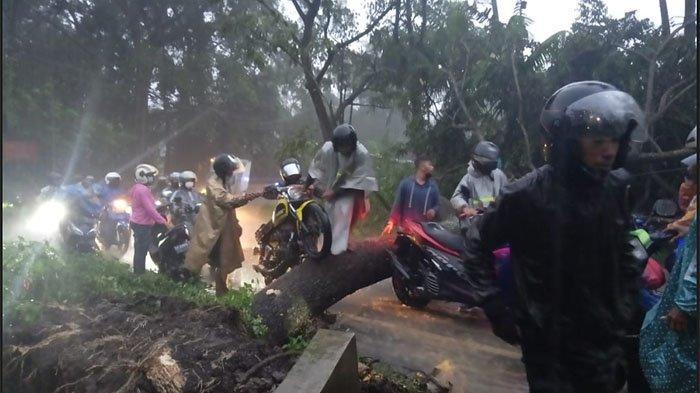 Pohon Tumbang Melintang di Tengah Jalan, Sebabkan Macet Total di Jalan Raya Denpasar-Gilimanuk