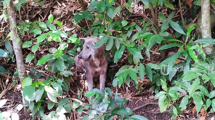 Seekor anjing liar yang habitatnya di wilayah perbukitan Dusun Sente, Desa Pikat, Dawan, Rabu (20/11/2019). Wilayah Dawan menjadi daerah paling tinggi kasus positif rabies di Klungkung.