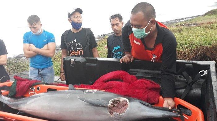UPDATE - Lumba-lumba yang Tidak Berhasil Dievakuasi di Pantai Batu Tumpeng Klungkung Ditemukan Mati