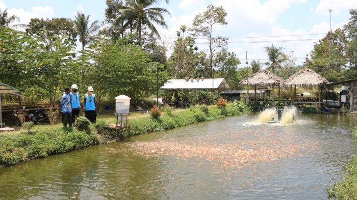 Program Electrifying Agriculture PLN Berhasil Dongkrak Produktivitas Budidaya Ikan Nila di Kalasan