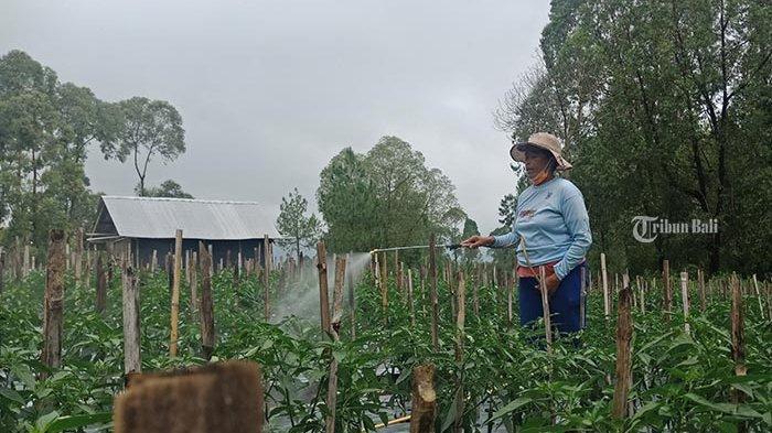 Harga Cabai Tingkat Petani di Bangli Turun Jelang Nyepi