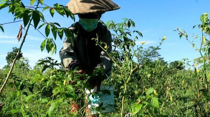 Puluhan Hektare Tanaman Cabai di Sidemen Karangasem Bali Terserang Layu Fusarium