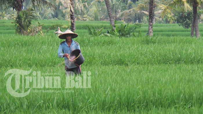 Banyak Warga Beralih dari Pariwisata ke Pertanian, Tabanan Usul Penambahan Alokasi Pupuk Bersubsidi