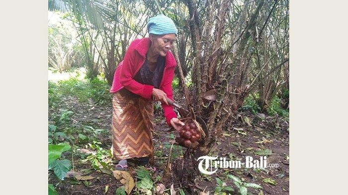 Harga Salak di Karangasem Perkilo Rp1.000, Ratusan Petani Terpaksa Tak Memanen