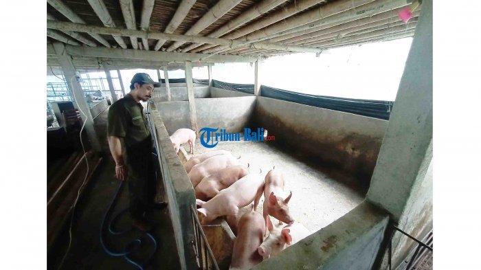 Tabanan Bali Dipastikan Dapat Bantuan Bibit Babi