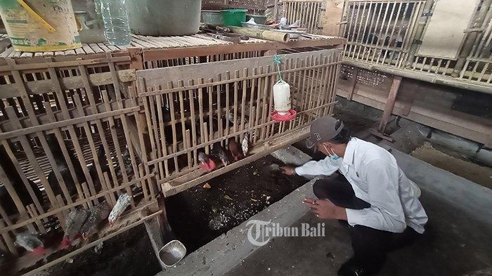 Warga Manfaatkan Magot untuk Pakan Ternak dengan Sistem Kohe, Hemat Biaya Pakan hingga 70 Persen