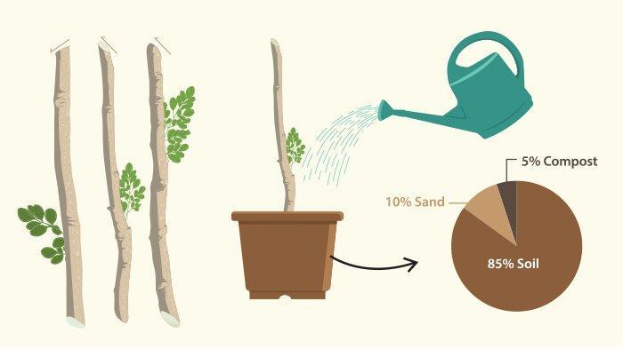 Ingin Menanam Pohon Kelor di Rumah? Begini Caranya, Mudah dan Tanpa Perawatan Khusus