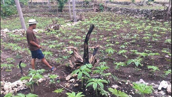 Petani di Tabanan Mulai Lirik Budidaya Porang, Manfaatkan Lahan Tidur hingga Tembus Pasar Ekspor