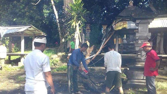 Pohon Berusia Ratusan Tahun Tumbang Karena Hujan Lebat, Timpa Bale Piasan Pura Subak di Pupuan