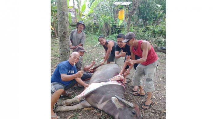 Tradisi Nampah Kebo di Desa Pandak Gede Tabanan Bali Saat Hari Raya Galungan