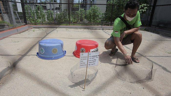 Suasana tempat penangkaran penyu di TCEC Serangan Denpasar di masa pandemi Covid-19, Sabtu 27 Maret 2021