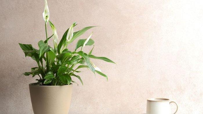 Tanaman peace lily via https://cewekbanget.grid.id/