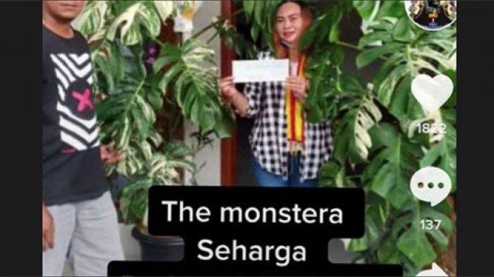 Tanaman Hias Monstera Variegata Laku Terjual Rp 225 Juta Viral di Medsos, Pembeli: Ini Spesial