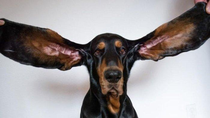 Anjing Lou Pecahkan Rekor Guinness, Kupingnya Sepanjang Ini