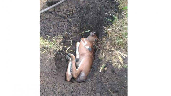 Ternak Sapi Warga Mati Penuh Luka di Subak Penasan Klungkung, Diduga Akibat Serangan Anjing Liar