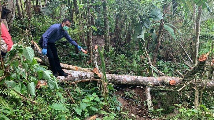 NAHAS, Hendak Tebang Pohon Durian, Ketut Darma Tewas Tertimpa Pohon Gamelina di Karangasem Bali