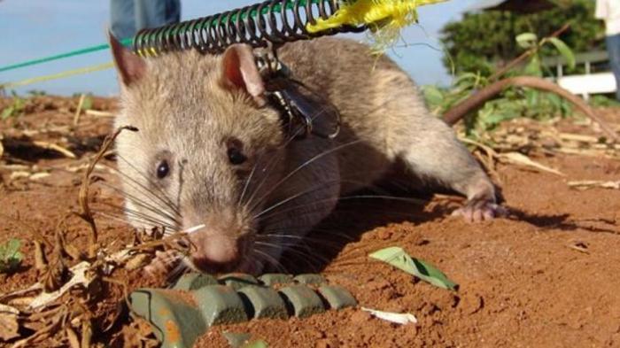 Mirip Kepribadian Manusia, Depresi Manusia Bisa Diobati dengan Belajar dari Tikus