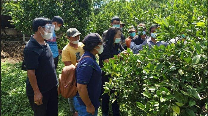 PKM Unwar di Kintamani Bangli, Petani Jeruk Siam Didorong Mampu Produksi Buah di Luar Musim
