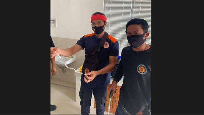 Merinding, Seekor Ular Kobra Berhasil Ditangkap di Bawah Kasur Warga di Sidakarya Denpasar
