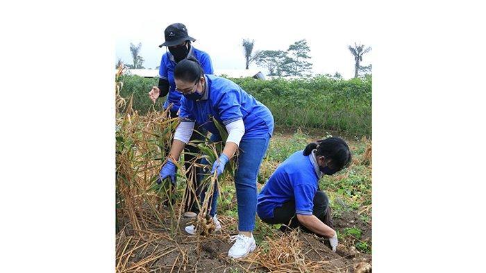 Permintaan Jahe Meningkat di Tengah Pandemi, Istri Wagub Bali Dorong Petani Berinovasi