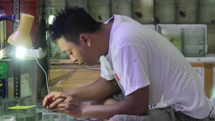 Sayatan Silet Daniel Sulap Harga Ikan Cupang Jadi Jutaan Halaman All Tribun Bali