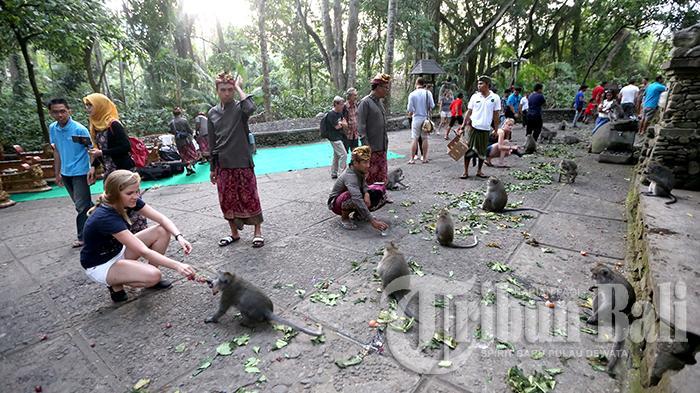 Ritual Tumpek Kandang di Monkey Forest, Ubud, Gianyar, Bali, Sabtu (3/10/2015).(Tribun Bali/I Nyoman Mahayasa)