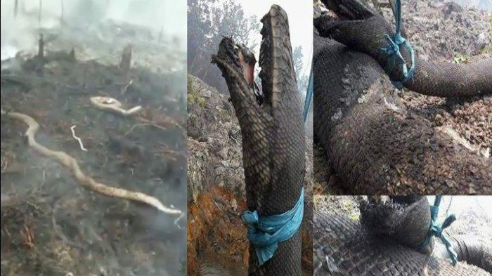 Video dan Foto Viral 'Anaconda' Mati Terpanggang Saat Kebakaran Hutan di Kalimantan