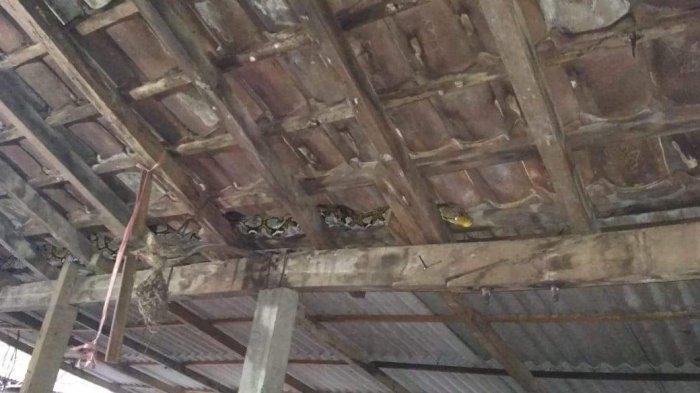 BREAKING NEWS Ular Sanca 3,5 Meter Sembunyi di Sela Kayu Reng Atap Rumah Warga di Kesiman