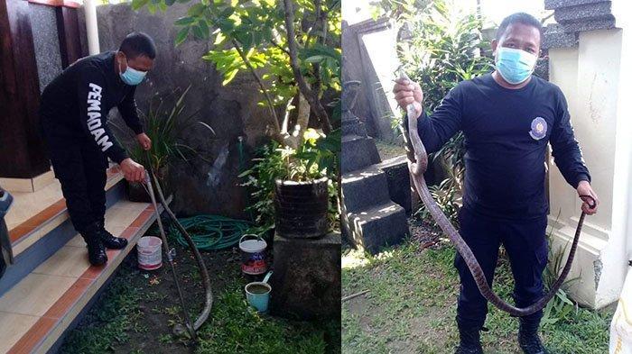 Ular Kobra Sepanjang 2,5 Meter Masuk Rumah Warga di Denpasar,Nyaris Semburkan Bisa ke Petugas
