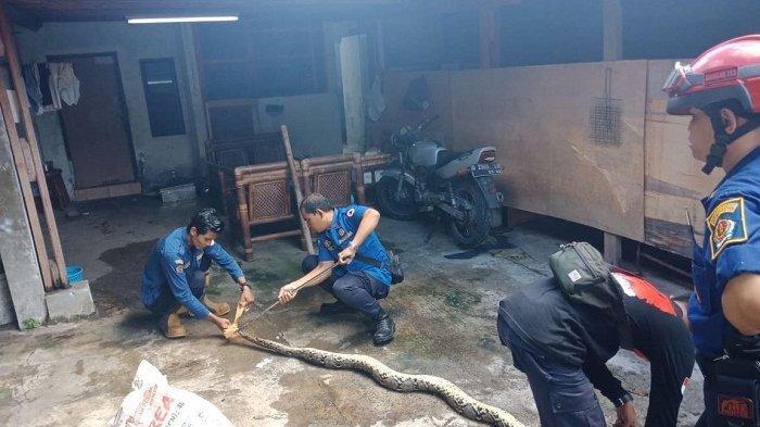 BREAKING NEWS - Warga Sidakarya Digagetkan dengan Ular Sepanjang 4 Meter