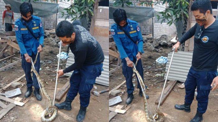 Ular Piton Sepanjang 2 Meter Sembunyi di Sebuah Kamar Mandi Jalan Tukad Barito Denpasar