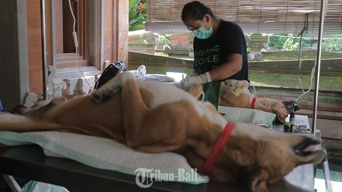 Vaksin Rabies Gratis Serangkaian HUT ke-233 Kota Denpasar, Binatang Peliharaan Anda Sudah Divaksin?
