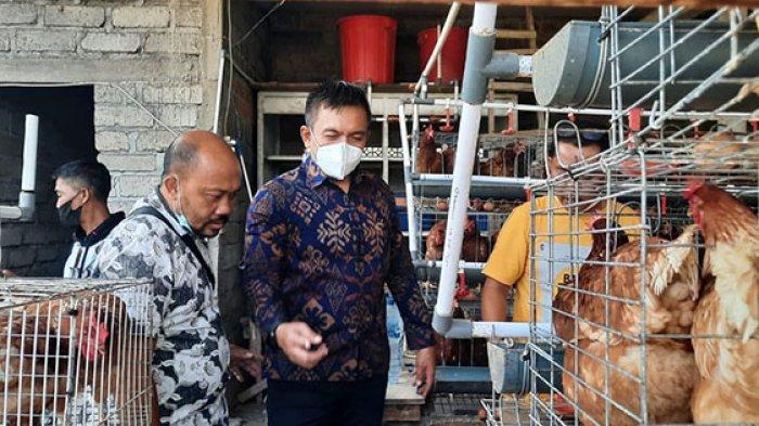 Peternak Ayam Petelur di Jembrana Gunakan Maggot Sebagai Solusi Hilangkan Bau