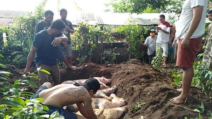 Kematian Ratusan Babi di Klungkung Masih Misterius, Belum Tentu Akibat ASF
