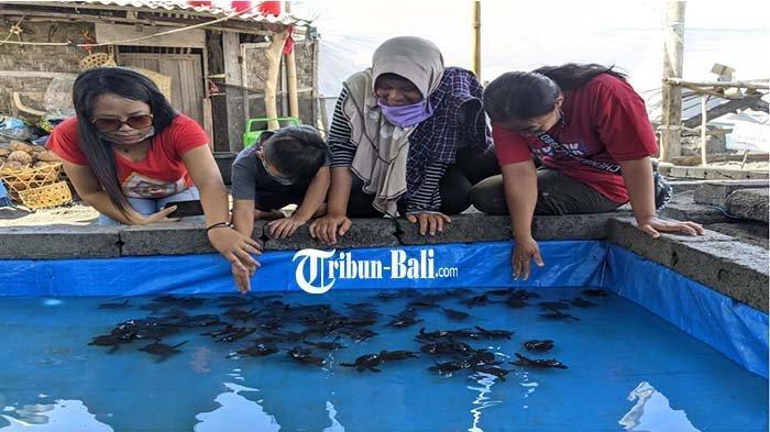 Pendederan di Klungkung Sempat Diterjang Ombak, Ribuan Telur Penyu Gagal Menetas