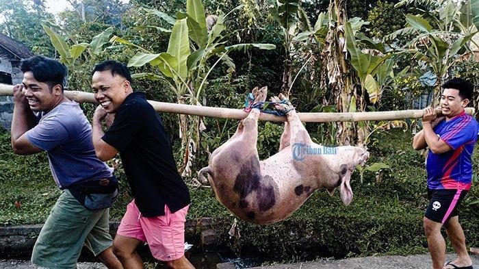 Harga Daging Babi Mahal, Beberapa Warga di Klungkung Pilih Tidak Ikut Mepatung