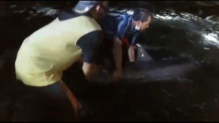 BREAKING NEWS: Beberapa Lumba-Lumba Terdampar di Pesisir Pantai Batu Tumpeng Klungkung