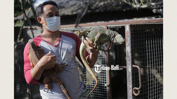 Budi Artana Geluti Usaha Sampingan Beternak Iguana di Denpasar, Sekali Panen Bisa Dapat Rp 24 Juta