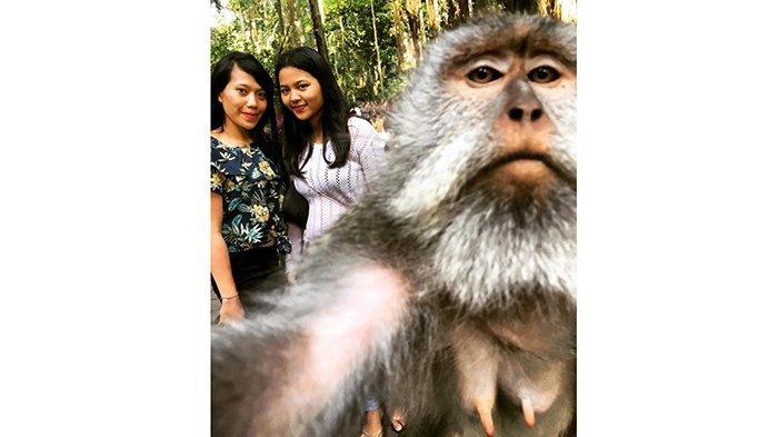 Dulu Hidup 'Makmur' di Monkey Forest Ubud, Kini Para Monyet Kesulitan Cari Makan