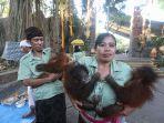 anak-orangutan-bonbon-cherry-dan-george-ikuti-tumpek-landep.jpg