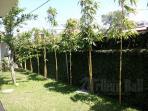 bambu-kuning_20151011_120448.jpg