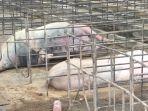 bangkai-babi-milik-pt-abs.jpg