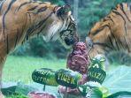 berikan-enrichment-kue-bertingkat-daging-sapi-cara-bali-zoo-rayakan-international-tiger-day.jpg