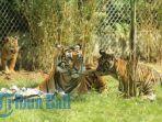 besok-hari-harimau-sedunia-bali-zoo-perkenalkan-tigor-togar-dan-zora-1_20180728_171316.jpg