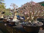 bonsai-festival-di-pantai-matahari-terbit-denpasar-bali-rabu-2182019.jpg