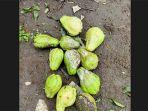 buah-labu-siam-milik-nyoman-sumantra-yang-busuk-akibat-lalat-buah.jpg